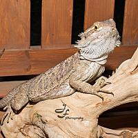 Adopt A Pet :: Bowser - Manhattan, KS