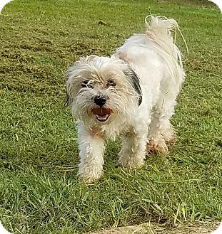 Shih Tzu/Terrier (Unknown Type, Small) Mix Dog for adoption in San Antonio, Texas - Starlight