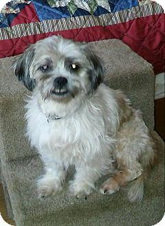 Shih Tzu Dog for adoption in Shallotte, North Carolina - Bentley