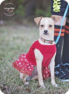 Chihuahua Dog for adoption in Kingwood, Texas - ButterCup