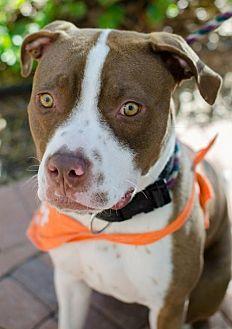American Staffordshire Terrier Mix Dog for adoption in San Diego, California - Lynden