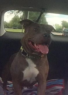 Pit Bull Terrier Mix Dog for adoption in New Lisbon, New Jersey - Abby