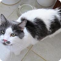 Domestic Mediumhair Cat for adoption in Palm Springs, California - cat cat