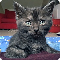 Adopt A Pet :: Heka - Mississauga, Ontario, ON