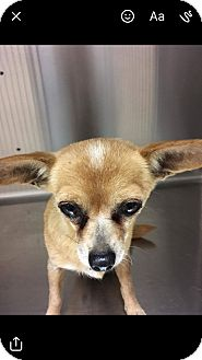 Chihuahua Dog for adoption in canyon lake, Texas - Millie
