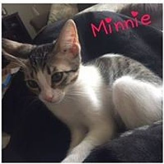 Domestic Shorthair Kitten for adoption in Mission Viejo, California - Minnie