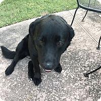 Adopt A Pet :: Bear - Brattleboro, VT
