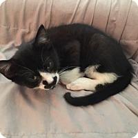 Adopt A Pet :: Sammy - New York, NY