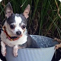 Adopt A Pet :: Lady - Bridgeton, MO