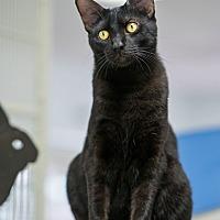 Adopt A Pet :: Sponsored Black Cats - Montclair, CA