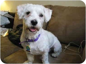 Poodle (Miniature) Dog for adoption in Long Beach, New York - Pippen