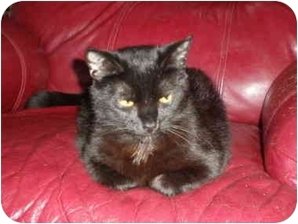Domestic Shorthair Cat for adoption in Franklin, Virginia - Jerry