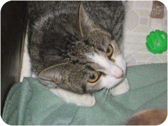 Domestic Shorthair Cat for adoption in Jacksonville, North Carolina - Zomora