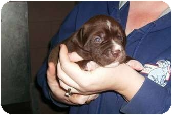 Pit Bull Terrier Puppy for adoption in Huntingburg, Indiana - Java
