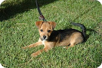 Beagle/Terrier (Unknown Type, Small) Mix Puppy for adoption in Webster, Minnesota - Walter