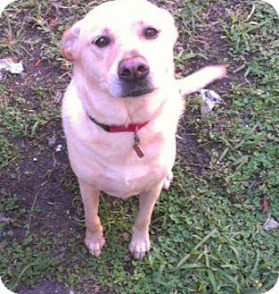 Labrador Retriever Dog for adoption in Miami, Florida - Dora