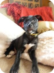 Labrador Retriever Mix Puppy for adoption in Marlton, New Jersey - Baby Abby