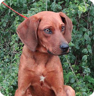Redbone Coonhound/Vizsla Mix Dog for adoption in Westport, Connecticut - *Danny Boy - PENDING