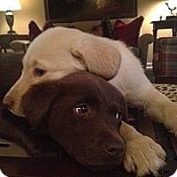 Adopt A Pet :: Holly Pup - Foster, RI