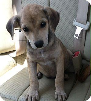 Terrier (Unknown Type, Medium)/Beagle Mix Puppy for adoption in MILWAUKEE, Wisconsin - LARRY