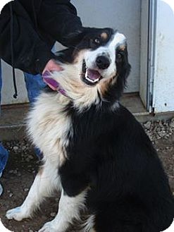 Australian Shepherd Mix Dog for adoption in Parker, Kansas - Sam