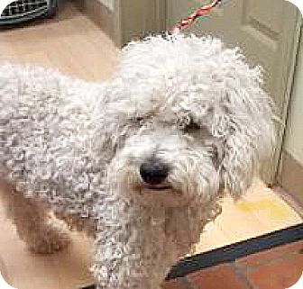 Poodle (Miniature) Mix Dog for adoption in Spokane, Washington - Clarence