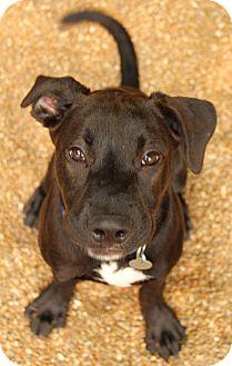 Labrador Retriever Mix Dog for adoption in O Fallon, Illinois - Ashton