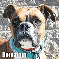 Boxer Dog for adoption in Encino, California - Benjamin