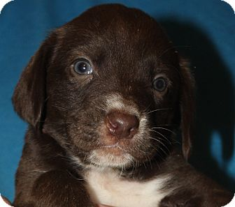 Labrador Retriever/Beagle Mix Puppy for adoption in Colonial Heights, Virginia - Twix