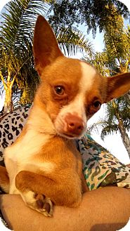 Chihuahua Mix Dog for adoption in San Diego, California - Ranger