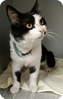 Domestic Shorthair Cat for adoption in Albertville, Alabama - Jace