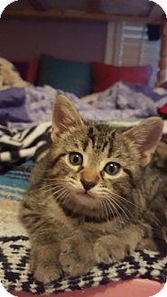 Domestic Shorthair Kitten for adoption in Smyrna, Georgia - Scout