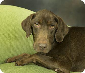 Labrador Retriever Mix Dog for adoption in Anchorage, Alaska - Doc
