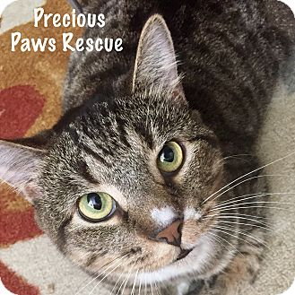 Domestic Shorthair Cat for adoption in Floral City, Florida - Tommy