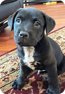 Boxer/Labrador Retriever Mix Puppy for adoption in Houston, Texas - Ash