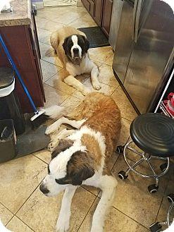 St. Bernard Dog for adoption in Westminster, Maryland - Nuggett