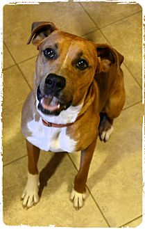 Boxer Mix Dog for adoption in Olympia, Washington - Banner - must see video!