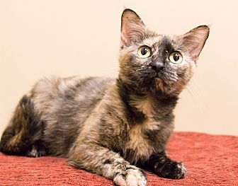 Domestic Shorthair Cat for adoption in Chicago, Illinois - Theodora