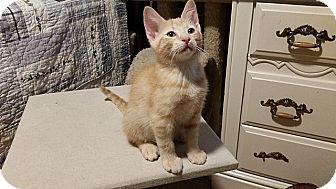 Domestic Shorthair Kitten for adoption in Tampa, Florida - Hob Nob