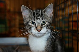 Domestic Shorthair Kitten for adoption in Rochester, Minnesota - Brian
