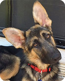 German Shepherd Dog Mix Puppy for adoption in Los Angeles, California - Danae von Dannau