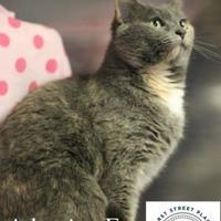 Adopt A Pet :: Miss Kitty--AT PETCO - Greenville, NC