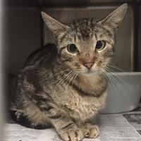 Adopt A Pet :: Shengqi - Clarkesville, GA