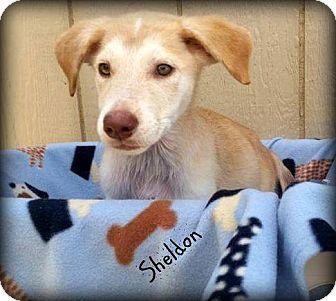 Husky/Labrador Retriever Mix Puppy for adoption in Hammond, Louisiana - Sheldon
