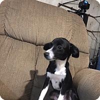 Adopt A Pet :: Barney - Elgin, IL
