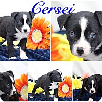 Labrador Retriever Mix Puppy for adoption in DeForest, Wisconsin - Cersei
