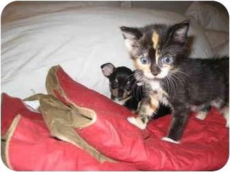 Calico Kitten for adoption in Long Beach, New York - Carrie