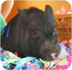 Pig (Potbellied) for adoption in Las Vegas, Nevada - Tubbalove
