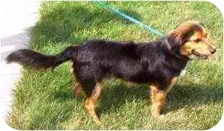 Sheltie, Shetland Sheepdog Mix Dog for adoption in Osseo, Minnesota - Andy