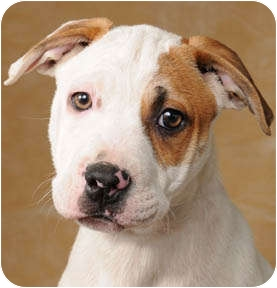American Pit Bull Terrier Puppy for adoption in Chicago, Illinois - Miller
